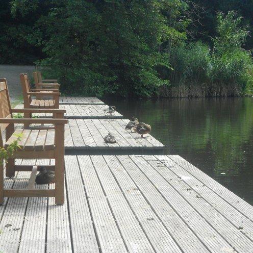 The ducks of Gruga Park, Essen