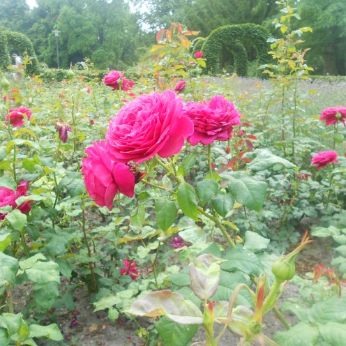 Roses at Gruga Park, Essen during summer