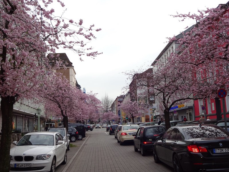 Cherry blossom trees in Essen