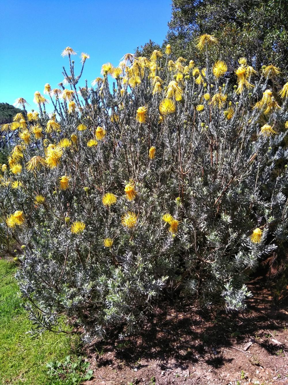 Protea flowers  Cape Town