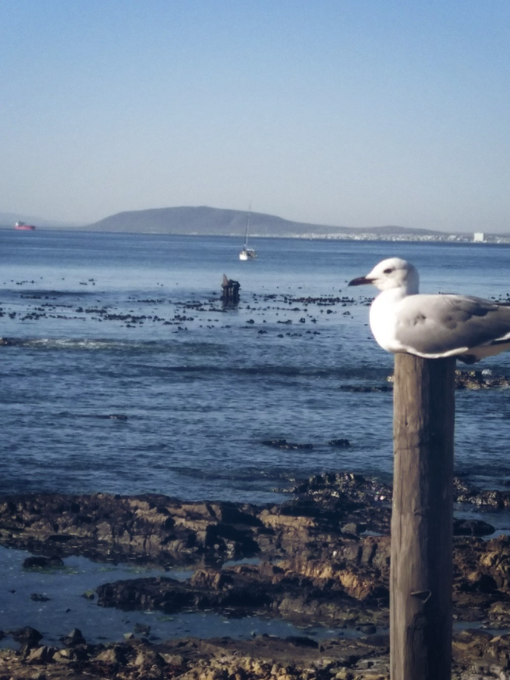 Seagull at Sepoint