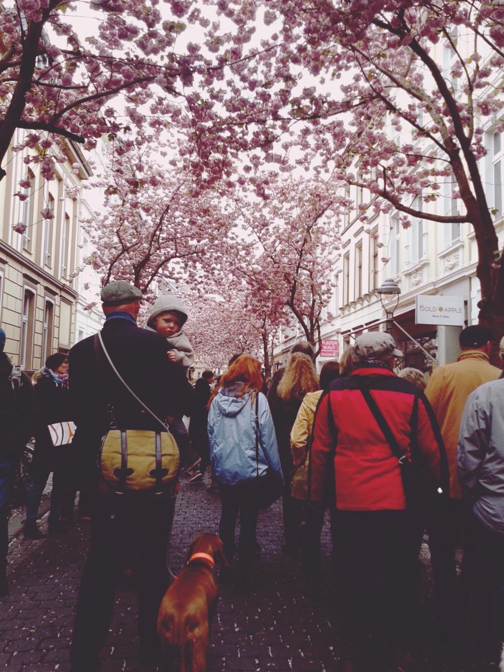 Bonn Germany Cherry Blossom trees