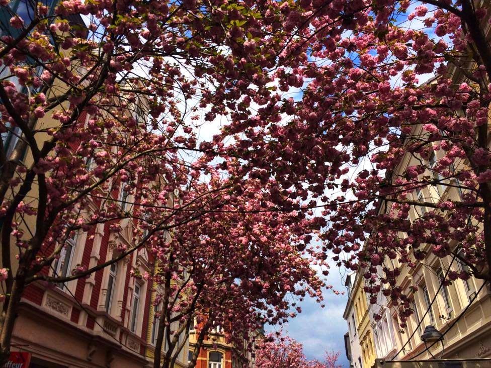 Cherry Blossom trees Bonn