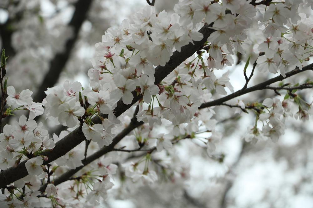 Wuhan University Cherry Blossom trees